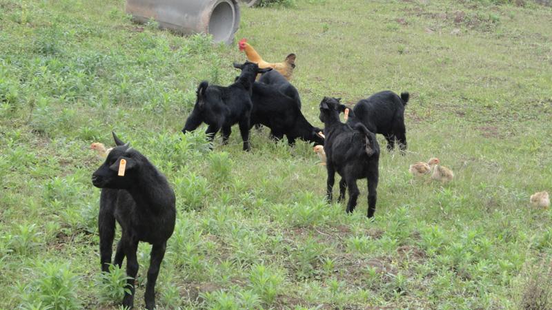 川南黑山商品羔羊